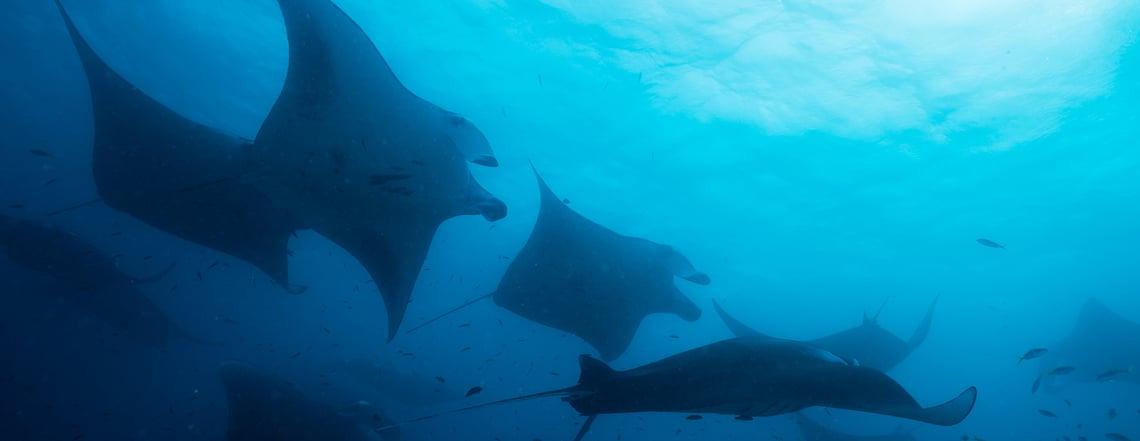 Big-island-manta-rey-diving