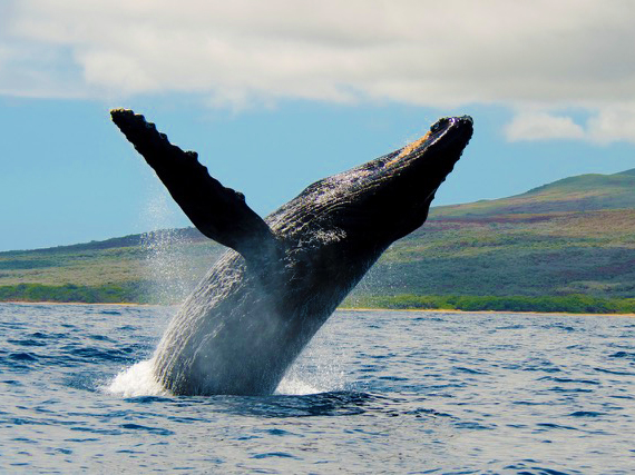 Jenn-Maui-Whales